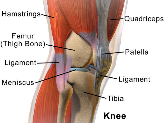 Kneecap (Patella).