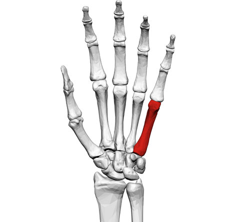 Fifth metacarpal of the left hand (shown in red). Palmar view.