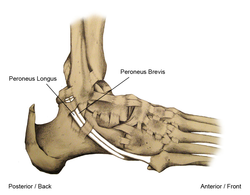 Peroneal Tendon in the Ankle