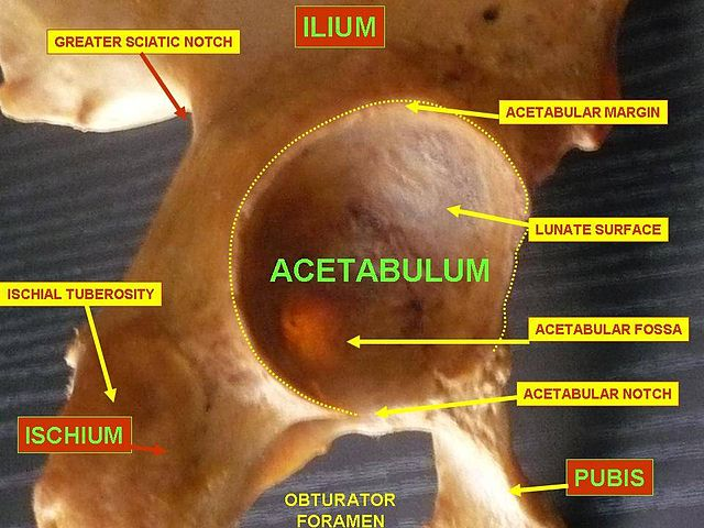 Acetabulum diagram