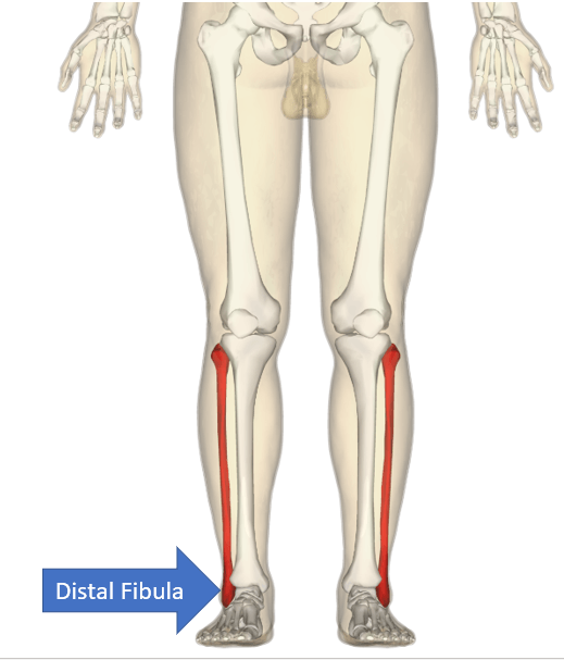 the distal fibula (forms the ankle joint)